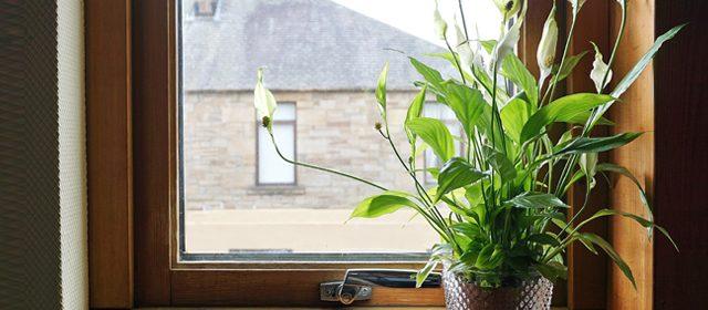 צמח הספטיפלום. יתרונו לא רק בטיהור האוויר אלא גם  ביכולתו להשמיד נבגי עובש שנמצאים באוויר